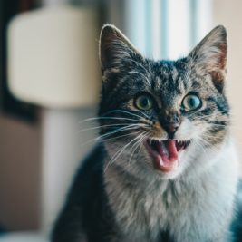 Cat meowing loudly