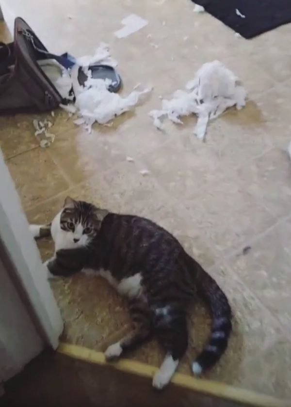 Cat sitting with some toilet paper that he just made a big mess with