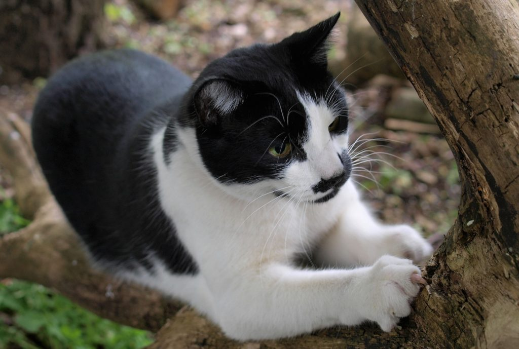 Black and white cat scratching a log.
