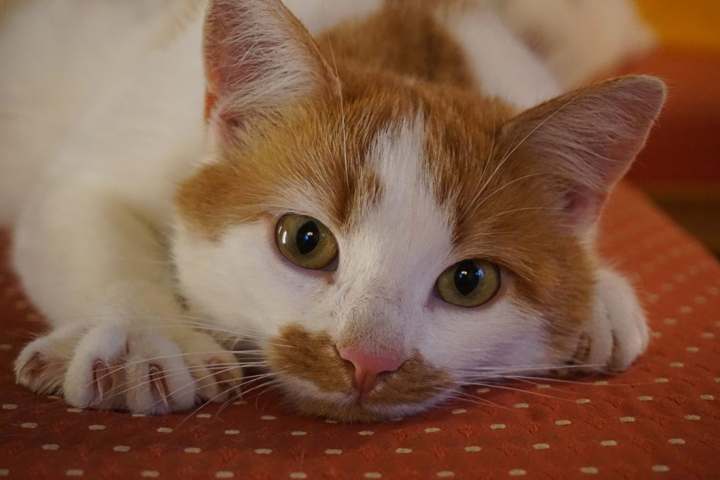 Orange and white cat with claws exposed.